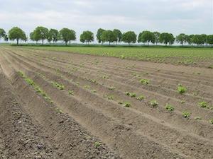 Aardappelteelt op ruggen, zonder erosiestopdrempeltjes